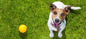 Dog looking up at camera next to ball
